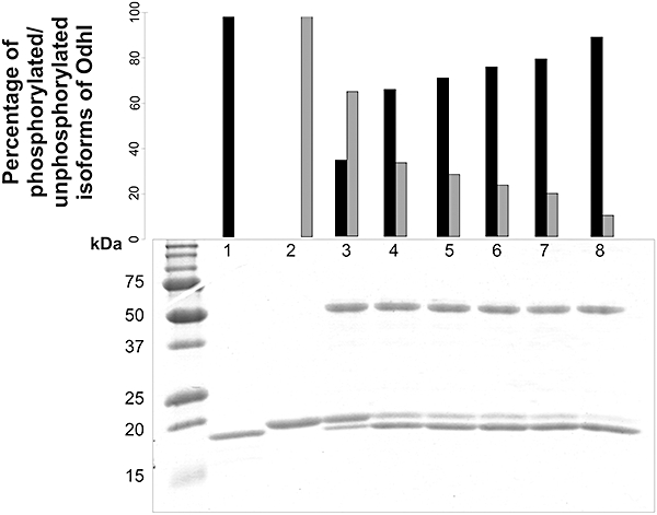 In vitro dephosphorylation of phosphorylated OdhI by Ppp. Ppp 1−309 (34.7 kDa) containing an N-terminal decahistidine tag was overproduced in E. coli and purified by Ni 2+ -chelate affinity chromatography. The in vitro dephosphorylation assay was performed as described in Experimental procedures . Lane 1, unphosphorylated OdhI Strep (purified from E. coli BB1553/pAN3K-odhI); lane 2, phosphorylated OdhI Strep (purified from C. glutamicum Δ ppp /pJC1- odhI ); lane 3–8, phosphorylated OdhI Strep 1, 5, 10, 15, 30 and 120 min after addition of the phosphatase Ppp 1−309 . The samples were subjected to SDS-PAGE and stained with Coomassie brilliant blue. The upper band represents singly or doubly phosphorylated OdhI, the lower band unphosphorylated OdhI ( Schultz et al. , 2007 ). The percentage of unphosphorylated (black bars) and phosphorylated OdhI (grey bars) was calculated by densitometric analysis.