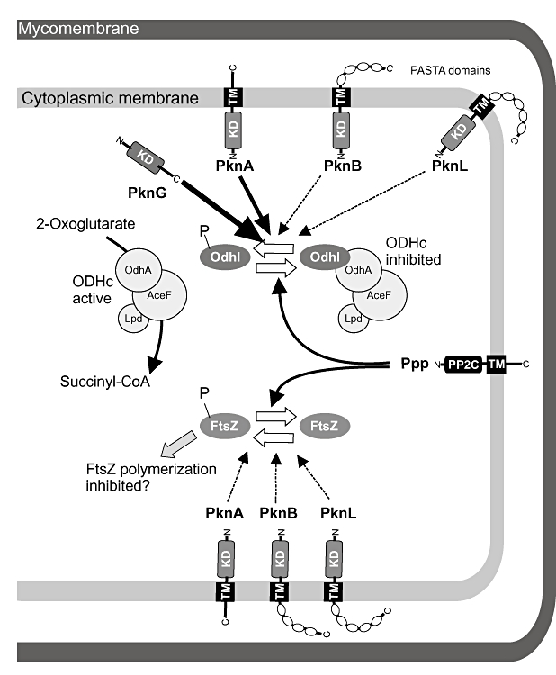 Model of STPK-dependent phosphorylation and Ppp-dependent dephosphorylation of OdhI and FtsZ in C. glutamicum .