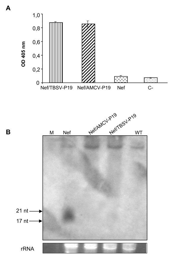 Correlation between P19 protein accumulation and levels of Nef specific siRNAs . (A) ELISA of leaf extracts from Nicotiana benthamiana plants agroinfiltrated with Nef, Nef/TBSV-P19 and Nef/AMCV-P19 was performed using a rabbit polyclonal antibody against TBSV-P19. Leaves were collected at 9 d.p.i. and plant extracts were normalized for total soluble protein (TSP). Fifty micrograms of TSP were loaded in each ELISA plate well. Values are means of triplicate determinations ± standard errors of the means. C-: leaf extract of plants infiltrated with infiltration buffer. (B) Detection of Nef specific siRNAs. Total RNA (15 μg) extracted from leaves agroinfiltrated with Nef, Nef/AMCV-P19, Nef/TBSV-P19, and from mock infiltrated plant used as a control (WT), was separated on denaturing 15% (w/v) polyacrylamide gel with 8 M Urea, stained with ethidium bromide to display relative amounts of rRNA and transferred to a positively charged nylon membrane. Nef specific digoxigenin-labelled RNA (+) (618 nt) was used as probe. M: si RNA low molecular weight RNA marker (synthetic siRNA duplexes 17, 21 and 25 bp).