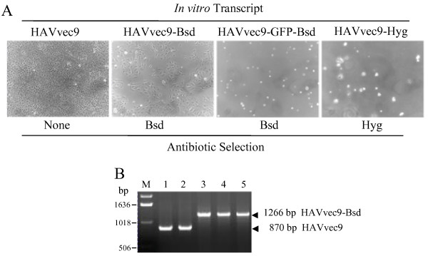 Rescue and stability of the HAV constructs containing antibiotic resistance genes in the 2A-2B junction . ( A ) Subconfluent FRhK4 cells were transfected with in vitro T7 polymerase transcripts of pHAVvec9, pHAVvec9-Bsd, or pHAVvec9-GFP-Bsd, or pHAVvec9-Hyg or mock-transfected. Cells were and incubated for 2-weeks in selection medium containing 1 μg/ml Bsd for all transfections except for cells transfected with pHAVvec9-Hyg transcripts, which were grown in the presence of 100 μg/ml Hyg. Phase contrast micrographs were taken with a Zeiss Axiovert microscope at 200× magnification. ( B ) Stability of the recombinant HAV. Viral RNA was extracted and fragments were amplified by <t>RT-PCR</t> using HAV primers forward VP1 coding for nts 2928-2951 and reverse 2B primer coding for nts 3715-3738. RT-PCR fragments amplified from RNA extracted from HAV/7 (lane 1), HAVvec9 (lane 2), HAVvec9-Bsd passage 1 (lane 3), and HAVvec9-Bsd passage 25-times in the presence (lane 4) or absence (lane 5) of Bsd were analyzed by TAE-1%-agarose gel electrophoresis. The RT-PCR fragments from HAVvec9-Bsd and HAVvec9 are indicated by arrowheads and their sizes given in base pairs (bp). The size of the <t>DNA</t> molecular weight markers (lane M) is indicated in bp.