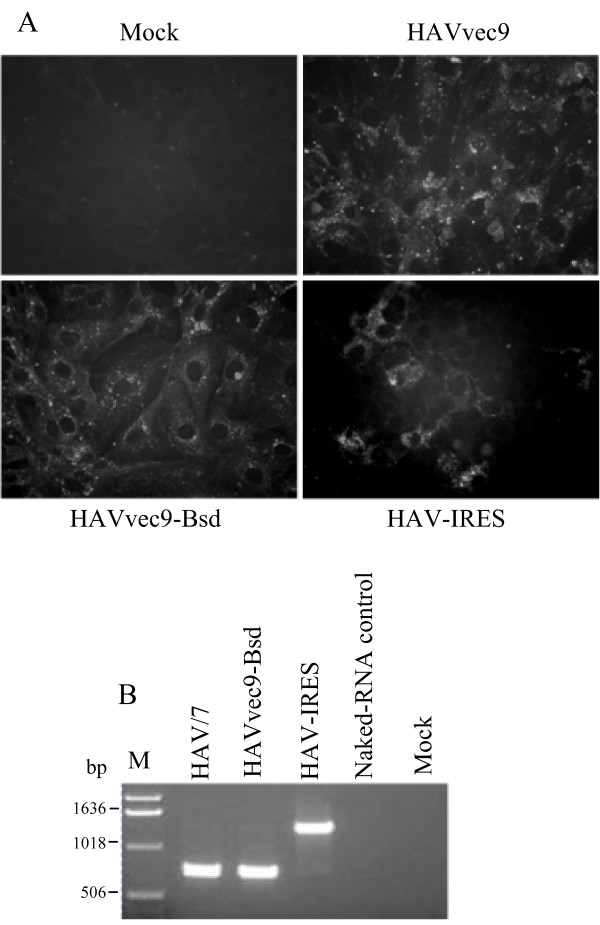 Rescue and stability of the HAV constructs containing the EMCV IRES at the 5'NTR . ( A ) IF analysis of FRhK4 cells transfected with in vitro RNA transcripts from pHAVvec9, pHAVvec9-Bsd, or pHAV-IRES or mock-transfected. Cells were fixed with acetone two weeks post-transfection, and stained with anti-HAV neutralizing monoclonal antibodies K2-4F2 and K3-4C8 and FITC-conjugated goat anti-mouse antibodies. Micrographs were taken with a Zeiss microscope at 400× magnification. ( B ) Analysis of the stability of HAV recombinants containing the EMCV IRES. RT-PCR analysis of genomic RNA extracted form HAV/7, HAV-IRES, HAVvec9-Bsd virions and amplified using primers corresponding to nts 484-507 and 1167-1194 of HAV. As negative control, T7 polymerase in vitro transcripts from pHAV-IRES were spiked into media, layered on top of a 40% sucrose cushion, and sedimented by ultracentrifugation. RNA extracted from the pellet was used for the RT-PCR analysis (Naked-RNA control). The size of the DNA molecular weight markers (lane M) is indicated in bp.