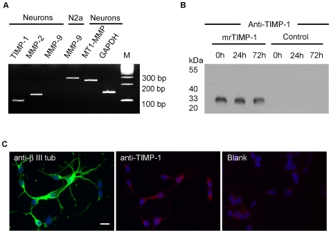 Expression of TIMP-1 and MMPs in primary cortical neurons. A. Semi-quantitative RT-PCR followed by separation of the PCR products in ethidium bromide stained gels showing expression by cortical neurons 24 h after seeding and by N2a neuroblastoma cells of mRNAs encoding endogenous TIMP-1, MMP-2, MMP-9 and MT1-MMP after 35 cycles of PCR. Note that in cortical neurons, MMP-9 mRNA is barely detected as compared with N2a cells and with the other neuronal mRNAs which were already detected at 30 cycles of PCR. GAPDH (30 cycles) was used as a standard; 100 bp molecular weight ladder (M). B. Western blot showing TIMP-1 immunoreactivity after equal protein loading from supernatants of cortical neurons at different times after adding 2.5 nM of mrTIMP-1, or from control untreated cultures at the same time points, 0, 24 and 72 h. Note that endogenous TIMP-1 is not detected in untreated cultures, whereas mrTIMP-1 is easily detected in the supernatants of these cultures even after 72 h, indicating high stability of the protein. C. Fluorescent microphotographs of cortical neurons showing βIII-tubulin (green) and TIMP-1 (red) immunostaining co-labelled with the nuclear marker Hoechst (blue) 24 h after seeding. Note low levels of endogenous TIMP-1, slightly above background levels (Blank) only in the soma of some cells. Scale bar 20 µm. Figures are representative of at least 3 independent experiments.