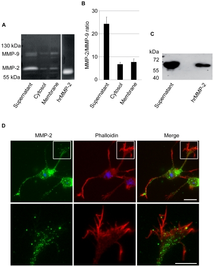Expression of MMP-2 and MMP-9 in cortical neurons 24 h after seeding. A. Gelatin zymograms of MMP-2 and MMP-9 from supernatant of cortical neurons, cytosol and membrane fractions. Human active recombinant MMP-2 (hrMMP-2) was used as a positive control (200 pg). The zymogram shows much higher expression of MMP-2 (∼70 kDa) than MMP-9 (∼100 kDa) in the supernatant, higher expression of MMP-2 in the cytosol where MMP-9 is barely detectable, and rather similar intensity of gelatinolytic bands for both gelatinases in the membrane fraction. B. Quantification of the MMP-2/MMP-9 ratio from zymograms, where active recombinant MMP-2 was used as normalising control. Values represent the means ± SEM of 3 independent experiments. Note that the quantification takes into consideration a 5-fold higher gelatinolytic activity of MMP-9 than MMP-2. C. Western blot demonstrating MMP-2 immunoreactivity in the supernatants of cortical neurons after enrichment and precipitation of the samples with gelatin beads. Active human recombinant MMP-2 (5 ng) was used as a positive control. Images are representative of 3 independent experiments. D. Fluorescence microphotographs showing immunolabelling of MMP-2 (green) and phalloidin F-actin labelling (red) in cortical neurons 24 h after seeding. Hoechst #33258 stained the nuclei (blue). Note that MMP-2 is distributed in the cell body and neurites. In the growth cones, MMP-2 is mainly located to the central domain (insets with high power magnifications in the lower row) and virtually excluded from F-actin rich areas, notably the peripheral domain. Scale bars are 20 µm for entire neurons and 10 µm for close up of growth cones.