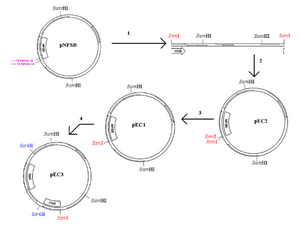 Schematic illustrating the strategy used to modify the nfsB coding region . Each numbered arrow corresponds to the procedures summarized below: 1: PCR using primers NfsBsmI-3F and NfsBsmI-2R to introduce a Bsm I recognition sequence and to alter a poly-A tract. 2: Treatment with S1 nuclease to create blunt ends, polynucleotide kinase to phosphorylate 5' ends, and T4 DNA ligase. E. coli were transformed using this construct (pEC2). Plasmid DNA was isolated by alkaline lysis. 3: Treatment with Bsm I to generate pEC1. Digestion product was ligated with T4 DNA ligase. The construct was transformed into E. coli . 4: pEC1 was amplified with primers dwnstrm-F and dwnstrm-R. The product was ligated to the omega fragment, a PCR product of pHP45Σ with the OmegaABC primer, to generate pEC3. The omega fragment is symmetric, so one primer amplifies in both directions