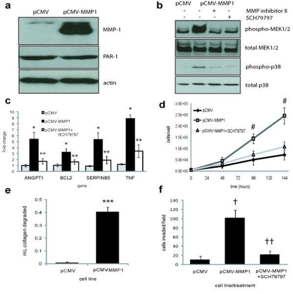 PAR-1 cleavage by MMP-1 occurs in VMM12 VGP melanoma cells. ( a ) Western blot analysis of MMP-1 protein production by normal melanocytes, Bowes RGP melanoma cells, and VMM12 VGP melanoma cells, and analysis PAR-1 protein expression by normal endothelial cells, Bowes and VMM12 cells. PAR-1 blots were re-probed for actin, as a loading control. MMP-1 band is 54kD, PAR-1 is 61kD, actin is 43kD. ( b ) VMM12 cells were transfected with AP-PAR1, and treated with media conditioned for 24hr by either Bowes or VMM12 cells. The amount of alkaline phosphatase in the media, due to PAR-1 cleavage, was measured after 1hr. ( c ) VMM12 conditioned media (CM) were treated with either DMSO, 0.05U/mL hirudin (thrombin inhibitor), 5μM MMP inhibitor II, which blocks activity of MMP-1,-3,-7,-9 or 5μM MMP inhibitor V, which blocks MMP-2,-3,-8,-9,-12,-13 activity. MMP-1 neutralizing antibody or anti-FLAG (IgG control) were added at the indicated concentration to VMM12 CM. Media were used to treat AP-PAR1 transfected VMM12 cells for 1hr. Alkaline phophatase activity was measured to quantify PAR-1 cleavage. * p =0.02 and ** p