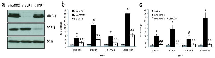 MMP-1 induces gene expression in VMM12 cells via PAR-1 activation. ( a ) Western blot analysis of MMP-1 and PAR-1 protein production by VMM12 cells stably transfected with scrambled control shRNA (shMAMMX), MMP-1 shRNAs (shMMP-1) and PAR-1 shRNAs (shPAR-1). PAR-1 blots were re-probed for actin, as a loading control. MMP-1 band is 54kD, PAR-1 is 61kD, actin is 43kD. ( b ) shMAMMX, shMMP-1 and shPAR-1 cells were treated with media conditioned by the same cell line for 24hr, with MMPs activated as described. Gene expression was measured by realtime RT-PCR. * p ≤0.002, compared to shMMP-1 gene expression, ** p ≤0.025, compared to shMAMMX gene expression. ( c ) shMMP-1 cells were treated with either DMSO (control), 5nM activated MMP-1 or 5nM MMP-1+50nM SCH79797. After 24hr, cells were harvested and gene expression measured by realtime-RT PCR. # p ≤0.003 compared to shMMP-1 control, ## p ≤0.005, compared to treatment with 5nM MMP-1. For all, data were normalized to GAPDH, and were analyzed by the 2 ΔΔC(t) method, and are representative of 3 experiments.