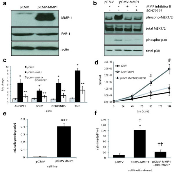 MMP-1 expression in Bowes RGP cells induces some aspects of the VGP phenotype in vitro , via PAR-1 activation. ( a ) Bowes cells were stably transfected with pCMV (empty vector control) or pCMV-MMP1. MMP-1 and PAR-1 protein levels were measured by western blot. PAR-1 blots were re-probed for actin, as a loading control. MMP-1 band is 54kD, PAR-1 is 61kD, actin is 43kD. ( b ) Bowe-pCMV and Bowes-pCMV-MMP1 cells were serum-starved for 2hr, then treated for 15′ with media from the same cell line, with MMPs activated as described. Media were treated with either DMSO (-), 5μM MMP inhibitor II, or cells were pre-treated with 50nM SCH79797, as indicated. The phosphorylation status of MEK1/2 and p38 were examined by western blot of the cell lysates. Blots were re-probed with antibodies against the corresponding total protein. MEK1/2 band size is 44kD, p38 is 38kD. ( c ) Realtime RT-PCR was used to measure the expression of selected genes in cells treated with media conditioned by the same cell line, with MMPs activated. Cells were treated with either DMSO or 50nM SCH79797. Data are normalized to GAPDH expression and were analyzed using the 2 -ΔΔC(t) method. * p ≤0.002, compared to pCMV gene expression, ** p ≤0.015, compared to Bowes-MMP1 gene expression. ( d ) Cells were plated in media conditioned by the same cell line, with MMPs activated, and viable cells were counted after 48, 96, and 144hr. Cells were treated with either DMSO or 50μM SCH79797. # p