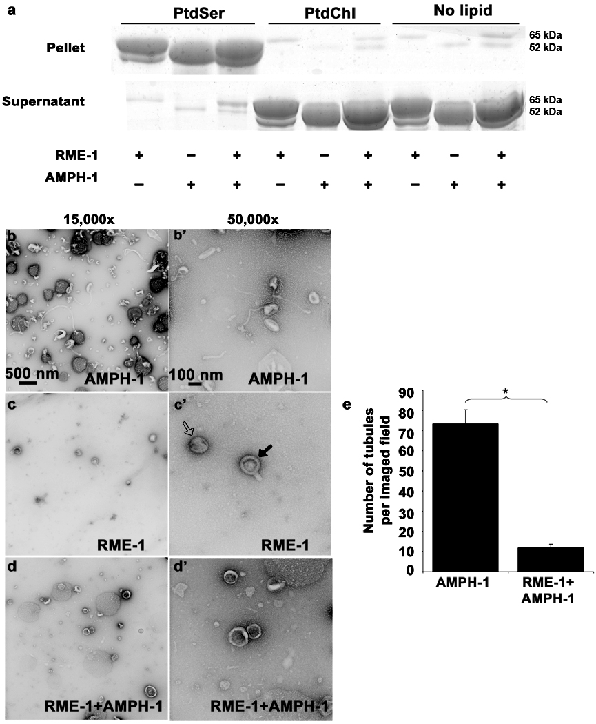 Nucleotide effects on RME-1 and AMPH-1 mediated liposome tubulation. (a) Coomassie stained gels of supernatant and pellet fractions from liposome co-sedimentation assays are shown. Binding reactions were performed in the absence or presence of 0.33 mg/ml, 0.4 µm (average diameter) 100% Phosphatidylserine (PtdSer), or 100% Phosphatidylcholine (PtdChl) liposomes. Liposomes were incubated with 1mM ADP and 1 µM of full length AMPH-1 or RME-1 proteins, or equimolar quantities of both proteins, as indicated. Note that RME-1 can bind to PtdSer liposomes in the presence of ADP. Tubulation experiments were performed with 2.5µM of each protein and 1mM ADP incubated with 0.05mg/ml 100% PtdSer liposomes. (b-b') AMPH-1 incubated with PtdSer liposomes in the presence of ADP (compare with ATP-γ-S, Fig. 5 c-c' ). (c-c') RME-1 incubated with PtdSer liposomes in the presence of ADP (compare with ATP-γ-S, Fig. 5 d-d' ). RME-1(ADP) lacks tubulation capacity and most liposomes remain spherical (open arrow) in the presence of RME-1(ADP). Striations are often visible and rare short protrusions (closed arrows) are present on occasional liposomes. (d-d') RME-1 in its ADP bound state can affect the tubulation ability of AMPH-1 as observed in an experiment containing equimolar concentrations of both proteins in the presence of ADP. (e) Quantification reveals an approximately 7 fold decrease in number of tubules in conditions where RME-1 is present with AMPH-1, as compared to tubulation produced by AMPH-1 alone. n=10 fields for each experimental condition (imaged at 3,000× magnification), the mean value for number of observed tubules was plotted and error bars represent ± s.d. from the mean. The asterisk indicates a significant difference in the one-tailed Student's T-test (p value=1.48×10 −15 ).