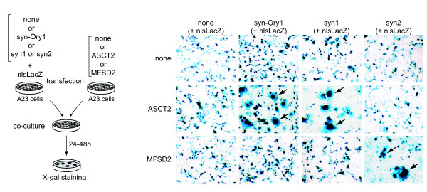 Fusion assay between ASCT2 -transduced and <t>syncytin-Ory1</t> -transduced co-cultured cells demonstrates that ASCT2 is the syncytin-Ory1 receptor . Left panel: Cell-cell fusion was assayed upon independent transfections of a set of A23 cells with an empty vector (none) or an expression vector for either the syncytin-Ory1, syncytin-1 or syncytin-2 protein together with an nls- <t>LacZ</t> gene-expression vector, and another set of A23 cells with an expression vector for the syncytin-1 receptor ASCT2, the syncytin-2 receptor MFSD2 [ 13 ] or an empty vector (none). One day after transfection, cells were resuspended and pairs of transfected cells from each set were cocultured for 1-2 days, fixed and X-Gal stained. Right panel: Syncytia can be easily detected (arrows) for the syncytin-Ory1/ASCT2, syncytin-1/ASCT2 and syncytin-2/MFSD2 pairs, with only mononucleated cells visible in the other cases. Abbreviations: syn-Ory1, syncytin-Ory1; syn1, syncytin-1; syn2, syncytin-2.