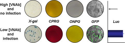Repertoire of reporter genes that can be carried within pseudotypes. We have expanded the range of reporter genes to enable the neutralisation assay to be performed in a much greater number of laboratories than previously possible. LacZ -based pseudotypes can be detected with X-gal, CPRG or ONPG β-gal substrates that turn blue, red or yellow in the presence of the enzyme, respectively. GFP appears as green cytoplasmic staining while the oxidation of the luciferase substrate results in light emission that can be detected in a luminometer. [VNAb]: virus-neutralising antibody concentration. The arrow indicates zero luciferase activity.