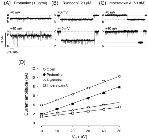 Effect of protamine compared to other conductance-modifiers. Single-channel recordings of fully active RyR2 channels (10 µM cytosolic Ca 2+ /5 mM caffeine) in the presence of 1 µg/ml protamine, 10 µM ryanodol or 50 nM <t>imperatoxin</t> A ( A , B and C , respectively). Channel activity was recorded at V m = 0 mV (top traces) and +40 mV (bottom traces). The current levels for the baseline, full open state and substates induced by protamine, ryanodol and IpTx A are indicated ( b, o, p, r and i , respectively). ( D ) Current amplitude as a function of voltage for the full open state (n = 28) and for substates induced by protamine (n = 10), ryanodol (n = 13) and IpTx A (n = 5). Slope conductances were, in pS, 129±1, 123±3, 56±2 and 43±3, respectively.