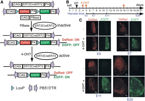 Temporal control of PB transgene expression. ( A ) ERT2CreERT2 regulated transgene expression. Upon 4-OHT induction, excision of floxed DsRed leads to expression of EGFP. ( B ) A scheme of experimental design. EP: electroporation. ( C ) GFP expression is tightly regulated by 4-OHT induction during development. Bars are 100 µm.