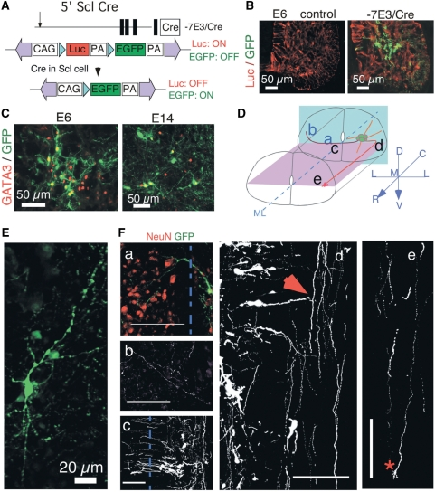PB-mediated labeling of V2b interneurons in the spinal cord. ( A ) A strategy to trace Scl -expressing cell lineage using PB transgenics. The − 7E3/Cre transgene that consists of mouse 5′Scl promoter sequences transiently express Cre in Scl -expressing progenitors. Cre -mediated excision leads to GFP expression from PB -loxP-luc-loxP-EGFP reporter. Scl -expressing cells are permanently labeled with GFP because the PB reporter is stably integrated in the progenitors. ( B ) Activation of GFP expression by −7E3/Cre transgene in the chicken spinal cord. ( C ) GATA3 partially overlaps GFP positive cells labeled by −7E3/Cre transgene. ( D ) Schematic illustration of the projection patterns of V2b ( Scl -expressing) interneurons in the spinal cord. The orientation of spinal cord and focal planes of confocal images of panel F a–e are marked. Turquoise: transverse section; Purple: longitudinal section. ( E ) A single Scl -expressing neuron labeled by GFP on a transverse spinal cord section. ( F ) The projection patterns of neuronal processes from GFP labeled V2b interneurons. a and b, transverse sections; c–e, longitudinal sections. Blue dotted line, midline. Bars are 100 µm in (F).
