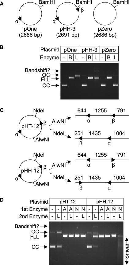 <t>DNA</t> site requirements for cleavage by LlaGI. ( A and B ) Plasmid substrates with no sites, one-site or two indirectly-repeated sites were incubated with either saturating BamHI (B) or LlaGI (L) for 1 h. Substrates and products were separated by agarose gel electrophoresis as indicated. ( C and D ) Plasmid substrates with two directly-repeated sites (pHT-12) or two indirectly-repeated sites (pHH-12) were cleaved with either AlwNI (A) or <t>NdeI</t> (N) to produce the linear DNA indicated. Sequences of the LlaGI sites are in Figure 3 . The parental plasmids and linear DNA were then incubated with saturating LlaGI for 1 h. Substrates and products were separated by agarose gel electrophoresis as indicated. See main text for full details. Under these assay conditions, an additional slowly-migrating band was observed which we assign to a LlaGI-DNA bandshift. Gels labelled as in Figure 3 .