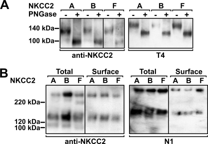 fNKCC2 glycosylation and appearance in the cell surface. A , whole cell lysates from HEK-293 cells transfected with fNKCC2A, -B, and -F were treated with (+) or without (−) PNGase F, subjected to SDS-PAGE, and immunoblotted with anti-NKCC2 ( left panel ) and re-probed with T4 ( right panel ). Exposure time was increased to detect fNKCC2F (shown by vertical line ). B , detection of surface proteins. 48 h after transfection HEK-293 cells were surface biotinylated with Sulfo-NHS-LC-biotin. Biotinylated proteins were precipitated from cell lysates with streptavidin beads, eluted, run on SDS-PAGE, and immunoblotted with anti-NKCC2 ( left panels ) and re-probed with N1 to detect endogenous NKCC1 ( right panels ). Twice as much protein was loaded and longer exposure times were used to detect surface proteins compared with total proteins. Molecular mass markers (in kDa) are indicated.