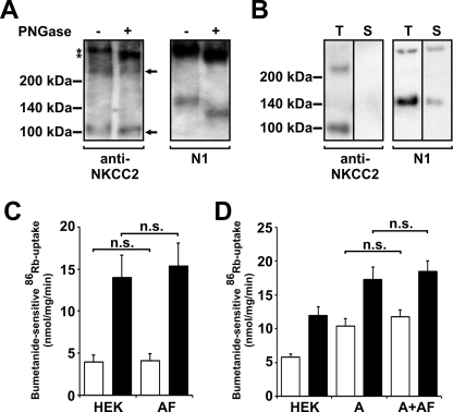 fNKCC2AF: glycosylation, surface expression, and 86 Rb uptake. A , cell lysates from HEK-293 cells transfected with fNKCC2AF were incubated with (+) or without (−) PNGase F, subjected to SDS-PAGE, immunoblotted with anti-NKCC2 ( left panel ), and re-probed with N1 antibody ( right panel ). Molecular size markers (in kDa) and cross-reaction of anti-NKCC2 with NKCC1 (*) are indicated on the left and NKCC2AF is marked by an arrow on the right. B , 48 h after transfection with fNKCC2AF HEK-293 cells were surface <t>biotinylated</t> with Sulfo-NHS-LC-biotin. Biotinylated proteins were precipitated from cell lysates with streptavidin beads, run on SDS-PAGE, immunoblotted with anti-NKCC2 ( left ), and re-probed with N1 to detect endogenous NKCC1 ( right ). Twice as much protein was loaded and longer exposure times were used to detect surface proteins ( S ) compared with total proteins ( T ). C , untransfected ( HEK ) and fNKCC2AF-transfected ( AF ) HEK-293 cells, and D , stable fNKCC2A ( A ) and stable fNKCC2A cells co-expressing fNKCC2AF ( A+AF ) were grown to confluence (2–3 days). 86 Rb uptake was assessed following incubation of cells in isotonic (basal conditions, open bars ) or hypotonic/low-chloride ( filled bars ) medium. Bumetanide-sensitive 86 Rb uptakes are shown as mean ± S.E. Expression of fNKCC2AF has no significant ( n.s. ) effect on 86 Rb uptakes by HEK-293 cells ( C ) ( n ≥ 4) or HEK-293 cells stably expressing fNKCC2A ( D ) ( n ≥ 3).