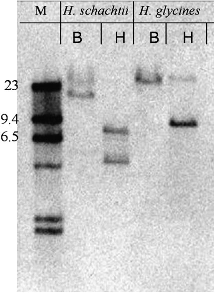 Genomic DNA of Heterodera schachtii and H. glycines digested with Bam HI (B) and Hin dIII (H) was hybridized on blots with a 162 bp Hg4F01 DIG-labelled cDNA probe and revealed two potential 4F01 annexin-like family members in each cyst nematode species. M, molecular weight marker shown in Kb.