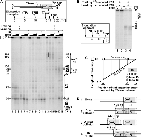 Exonuclease Mapping of Trailing Polymerase after Collision (A) (Box) Experimental approach. (Lower) Mono- and dielongation complexes with 3′ end-labeled, nontranscribed strand DNA were incubated with NTPs (or with NTPs and TFIIS), digested with T7 exonuclease, and analyzed by denaturing PAGE. DNA fragment sizes are indicated to the left. The position of the elongation complexes relative to the active site of the leading polymerase (−82, −79, etc.) is indicated on the right. Grey arrow indicates distance between the active site of the elongation complex at the G stop and the position of that same elongation complex as marked by T7 exonuclease. Double arrows (black) mark distances between elongation complexes, and thin lines between lanes indicate major exonuclease stops (see text for details). (B) (Box) Experimental design. (Right) Transcription products resolved by denaturing PAGE as in  Figure2 C. (C) Relationship between lengths of transcripts and positions of trailing elongation complex as marked by exonuclease. Angled line indicates forward translocation toward the point of collision. Horizontal lines with arrows indicate backtracking, and gray, vertical lines with arrows indicate transcript cleavage and the return of RNAPII to forward translocation. (D) Summary of results, drawn to scale. Distances between elongation complexes are indicated.