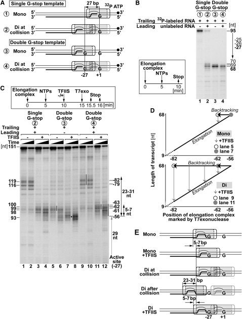 Backtracking of Trailing Polymerase Caused by Collision with Leading Polymerase (A) Experimental approach. A second G stop at position −27 relative to the first G stop was introduced. Drawn to scale. Numbers corresponding to each substrate also apply in (B) and (C). (B) Transcription products resolved by denaturing PAGE as in Figure 2 C. (C–E) T7 exonuclease mapping of elongation complexes and models, as in Figure 3 .