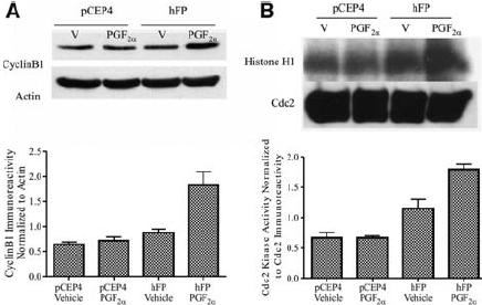 PGF 2 α treatment of HEK cells stably expressing the human FP prostanoid receptor increases expression of cyclin B1 ( A ) and increases Cdc2-mediated phosphorylation of histone H1 ( B ). ( A ) Upper panel: immunoblot of lysates prepared from hFP-HEK and pCEP4-HEK cells that had been treated with either vehicle (V) or 1 µM PGF 2 α for 24 h. Blots were probed with anti-cyclin B1 and anti-actin antibodies as described in Materials and methods. Lower panel: quantitative analysis of three independent experiments by densitometry of cyclin B1 immunoreactivity normalized to actin immunoreactivity (means ± SEs). ( B ) Upper panel: autoradiograph of Cdc2 kinase activity (phosphorylation of histone H1) and immunoblot of Cdc2 kinase expression in lysates prepared from hFP-HEK and pCEP4-HEK cells that had been treated with either vehicle (V) or 1 µM PGF 2 α for 24 h. Cdc2 kinase assays and Cdc2 immunoblotting were done as described in Materials and methods. Lower panel: quantitative analysis of three independent experiments by densitometry of Cdc2 kinase activity (histone H1 phosphorylation) normalized to Cdc2 immunoreactivity (means ± SEs).