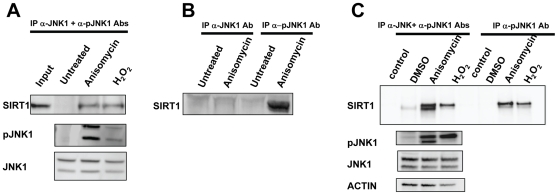 SIRT1 and JNK1 interact. A , Coimmunoprecipitation of SIRT1 with total JNK1 and phospho-JNK1 after treatment with anisomycin or H 2 O 2 . Anisomycin and H 2 O 2 cause phosphorylation of JNK1 and interaction with SIRT1. B , Coimmunoprecipitation of SIRT1 with either total JNK1 or phospho-JNK1 from HEK293 cell lysates. SIRT1 immunoprecipitated specifically with phospho-JNK1 in response to anisomycin. C , Coimmunoprecipitation of SIRT1 with either total JNK1 plus phospho-JNK1 or phospho-JNK1 from C2C12 cell lysates. SIRT1 immunoprecipitated with phospho-JNK1 in response to anisomycin or H 2 O 2 .