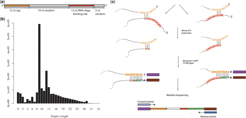 ( a ) Schematic representation of the <t>DNA</t> oligonucleotides from which <t>Illumina</t> libraries were generated. ( b ) Distribution of duplex lengths amongst a sequenced sample of single-stranded DNA oligonucleotides. We extracted reads corresponding to the oligonucleotide by searching the output data for the 12 nt known sequence tag. Duplex lengths were then calculated by counting the number of bases at the 3′-end found to be the reverse complement of those at the 5′-end. This revealed a smooth distribution of values over a range of sizes, with large peaks at 12 bp (likely resulting from intermolecular annealing) and 9 bp (probably the consequence of a 3 bp duplex that can form between the known sequence tag and RNA binding site). ( c ) Two proposed mechanisms for the formation of species with 9 nt of reverse complementarity between the 5′ and 3′-ends, the most common duplex length observed. The vast majority of these were found to have 3 bp 'seed duplexes' formed by base pairing between –CGT– in the sequence tag and either the –GCA– in the 3′ half of the RNA oligonucleotide binding site, or the CA-dinucleotide at the start of the binding site when the preceding nucleotide (the last of the 19 nt random sequence) was G.