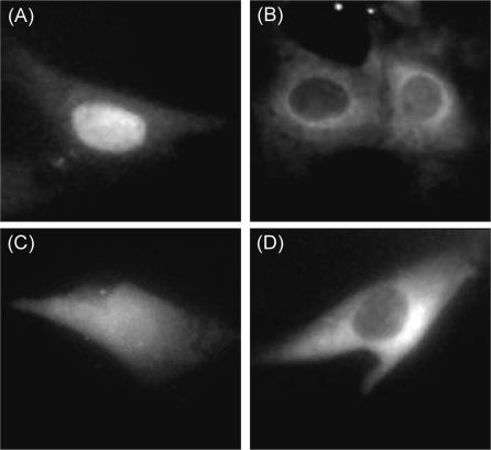 Fluorescence images of MBs and MB-NeutrAvidin conjugates following microinjection in living MEF/3T3 cells. The representative images shown were acquired 20 min following the injection of ( A ) 2Me MBs, ( B ) 2Me MB-NeutrAvidin conjugates, ( C ) 2MePS MBs and ( D ), 2MePS MB-NeutrAvidin conjugates. The MBs used were not complementary to any known endogenous RNA in MEF/3T3 cells.