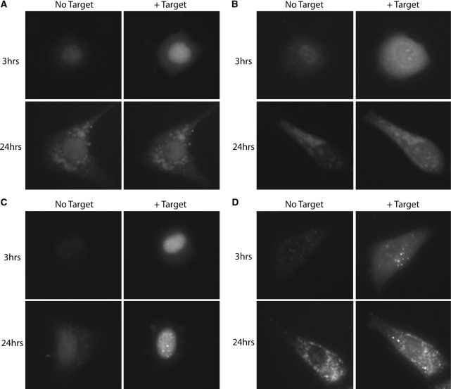 Evaluation of MB functionality in MEF/3T3 cells at various times after microporation. Excess complementary nucleic acid targets were injected into MEF/3T3 cells 3 h and 24 h after being microporated with ( A ) 2Me MBs, ( B ) 2Me MB-NeutrAvidin conjugates, ( C ) 2MePS MBs and ( D ) 2MePS MB-NeutrAvidin conjugates. Fluorescent images of the cells were acquired immediately before and shortly after microinjection. Representative fluorescent images are shown.