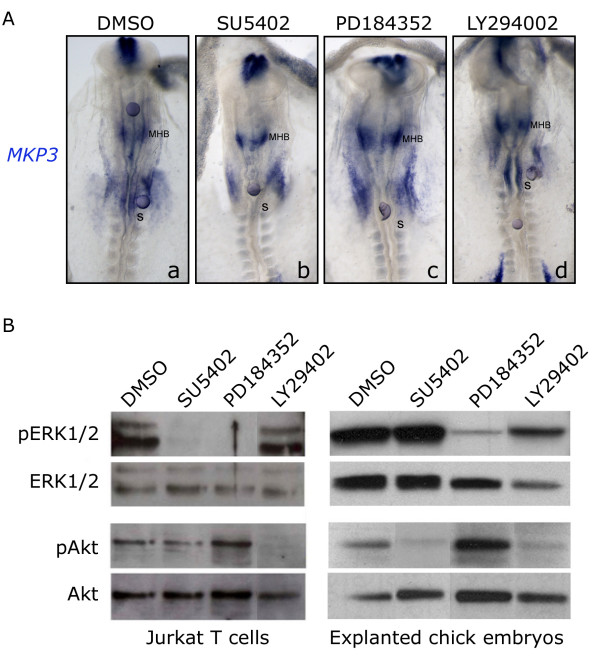 MKP3 is dependent on <t>ERK1/2</t> but not Akt activation . (A) Beads soaked with specific inhibitors were placed in the caudal hindbrain or in the presumptive MHB of HH7 + -8 explanted embryos. Pharmacological treatments were as follows: DMSO (a), FGFR inhibitor SU5402 (b), ERK1/2 inhibitor PD184352 (c), PI3K inhibitor LY294002 (d). Explants were incubated during 6 h at 38°C. (B) Jurkat cells (left side lanes) and HH7-8 explanted embryos (right side lanes) were treated with DMSO, SU5402, PD184352 or LY294002 and analyzed by western blot for total and phosphorylated forms of Akt and ERK1/2. PD184352 treatment impeded ERK1/2 phosphorylation without affecting the PI3K-Akt pathway and, conversely, LY294002 treatment abolished Akt phosphorylation without affecting the Ras-ERK1/2 pathway. Embryos are shown in whole-mount with anterior to the top.