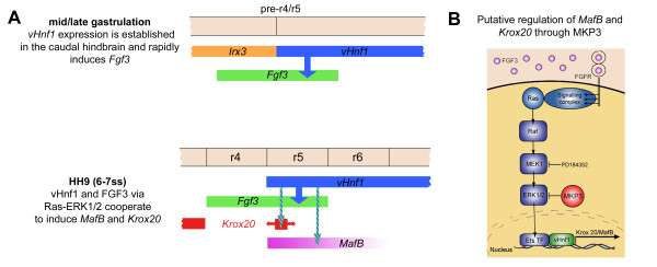 Model depicting the cooperation of vHnf1 and FGF signals in the induction of MafB and Krox20 in the caudal hindbrain . (a) vHnf1 is very early expressed in the caudal neural plate with a sharp boundary laying in the prospective r4/r5 boundary. This expression may be initiated very early in response to RA from the axial and paraxial mesoderm during mid/late stages of gastrulation [ 12 , 64 , 65 ]. Anterior limit of expression of vHnf1 may be established by mutual repression with an irx gene [ 61 , 65 ], probably irx3 (unpublished results). vHnf1 rapidly induces Fgf3 in the caudal hindbrain [ 1 ] , which activates the Ras-ERK1/2 pathway. vHnf1 and Fgf3-ERK1/2 co-operate for the induction of MafB expression in r5 and r6 at 4-5ss and Krox20 in r5 at 6-7ss. Krox20 induction is probably also dependent on MafB expression as suggested in mouse and zebrafish [ 8 , 11 , 66 , 67 ]. Krox20 is initially expressed in a narrow domain caudal to r4 and subsequently expands its expression area due to non-cell autonomous induction. Coinciding with the onset of Krox20 in r5, vHnf1 progressively regresses to r6 between 7 and 10ss. Mutual repression between vHnf1 and Krox20 may prevent expansion of Krox20 to r6. Anterior is to the left. (b) Putative regulation of MafB and Krox20 expression by vHnf1 modulating FGF signaling through MKP3 .