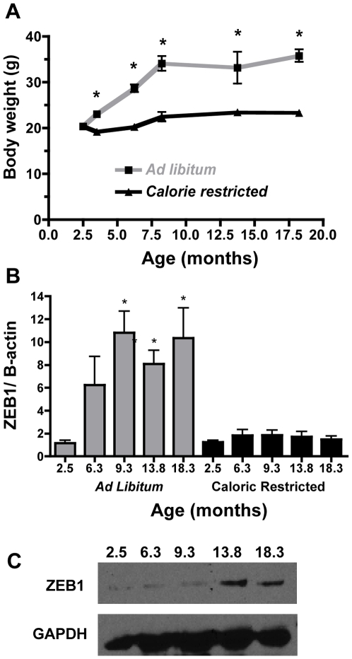 ZEB1 mRNA expression increases concomitantly with weight in WT female mice. Mice were fed regular chow ad libitum or a diet restricted to 75% of the calories of the ad libitum group (calorie restricted). ( A ) Body weights (g) were recorded as indicated for mice that were fed ad libitum (gray line) or calorie restricted (black line). n = 3–7 mice/group. ( B ) Corresponding ZEB1 mRNA expression in parametrial fat was determined by quantitative SYBR real time PCR. ZEB1 mRNA was expressed relative to β-actin mRNA, ad libitum (gray bars), calorie restricted (black bars). n = 3–7 mice/group ( C ) Western blot confirming that ZEB1 protein expression increases in response to increased body weight in mice fed ad libitum . GAPDH was used as a loading control. Individual lanes are labeled as months of age.