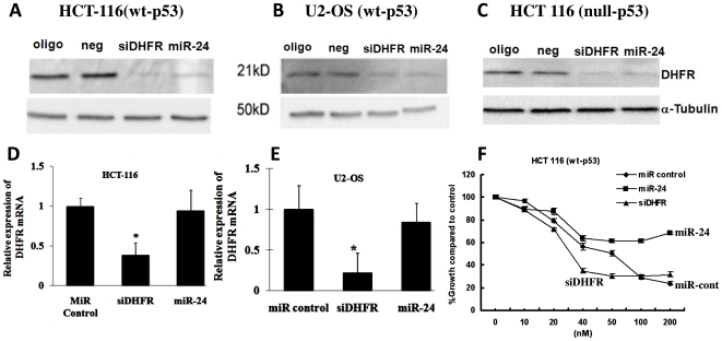 MiR-24 regulates cell proliferation by regulating <t>DHFR</t> levels, independent of p53 status. (A–C) miR-24 over-expression down-regulated DHFR protein levels in three cancer cell lines independent of p53 function; in colon cancer HCT 116 (wt-p53) (A), osteosarcoma cell line U2-OS (wt-p53) (B), and HCT-116 (null-p53) cancer cell lines (C). Oligofectamine alone (oligo) and non-specific miRNA (neg) were used as the negative controls. <t>siRNA</t> specific against DHFR (siDHFR) was the positive control. (D–E) The levels of DHFR mRNA in HCT-116 and U-2 OS cells were determined by real time qRT-PCR analysis, GAPDH was used as an internal standard for normalization (data are shown as mean±SD. *, P