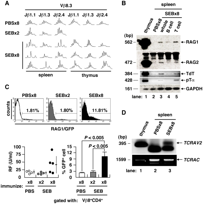 TCR revision upon repeated immunization with antigen. (A) TCR CDR3 length profiles of mice immunized 8× with PBS, 2× or 8× with SEB. TCR repertoire of splenic CD4 + T cell was skewed only after immunization 8× with SEB. (B) Expression of V(D)J recombinase complex and related molecules in the spleen of PBS- or SEB-injected BALB/c mice. (C) GFP + cells in the Vβ8 + CD4 + T population of rag1/gfp knock-in mice. IgG-RF as induced in rag1/gfp knock-in mice after immunization 8× with SEB (lower left). The GFP + T cell fraction was also increased among Vβ8 + CD4 + T cells (mean ± SD, 4–5 mice/group). (D) TCRα chain revision in the spleen of mice immunized 8× with SEB was determined by LM-PCR detection of dsDNA breaks at the RSS flanking the TCRAV2 , with PCR-amplified TCRα constant region ( TCRAC ) as a DNA quality control.