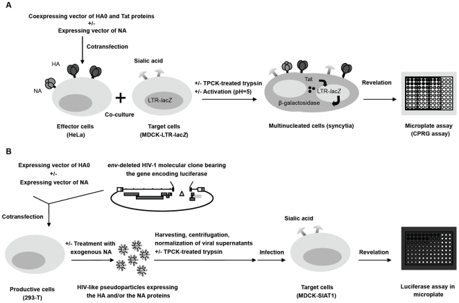 Schematic representations of the cell-cell fusion (panel A) and the infectivity assays (panel B). Panel A: Cell-cell fusion assay. HeLa cells seeded into 96-well plates were cotransfected with a plasmid coexpressing the HA and Tat proteins in the presence or in the absence of a vector expressing NA. Transfected cells were further co-cultured with MDCK target cells that harbor a Tat-inducible β-galactosidase reporter system (LTR- lacZ cassette). Co-culture was successively treated with TPCK-treated trypsin and with acidic medium to mediate membrane fusion. 40 hours later, cells were lysed and the β-galactosidase activity was detected using a colorimetric assay. Panel B: Infectivity assay. Subconfluent monolayer of 293-T cells were cotransfected with an env- defective HIV-1 proviral clone in which the nef gene was replaced by that encoding the Renilla luciferase and with plasmids expressing HA and/or NA. NA can also be provided in this system as exogenous and soluble NA from Clostridium perfringens . Viral supernatants were harvested, cleared, normalized by quantification of the HIV-1 p24 antigen content and further used to infect MDCK-SIAT1 target cells seeded into 96-well plates. Infected cells were incubated for 40 hours, and further lysed. Lysates were tested for luciferase activity by the addition of a specific substrate measured in a luminometer.