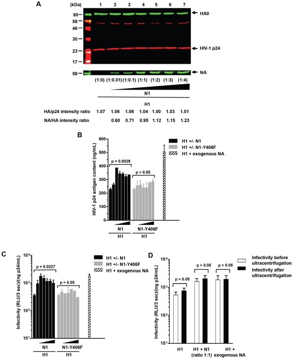 Infectivity of HA-expressing HIV-1 pseudotypes in the absence or in the presence of viral NA protein or soluble bacterial sialidase. 293-T cells were cotransfected with an env -defective HIV-1 proviral clone encoding Renilla luciferase and different ratios of a plasmid expressing the H1 protein from the H1N1 A/Paris/0650/04 virus and a plasmid encoding either the wild-type homologous N1 or a defective enzymatic variant, N1-Y406F. The HA:NA plasmid ratios (w/w) tested were: 1∶0, 1∶0.01, 1∶0.1, 1∶1, 1∶2, 1∶3 and 1∶4. Panel A: quantification of HA and NA expression in purified virions preparations by western blot. Results are representative of two independent experiments. Panel B: impact of NA activity on the production and release of pseudoparticles measured by HIV-1 p24 ELISA. Columns represent mean value of at least three independent experiments (bars represent standard errors). Panel C: infectivity of HA-expressing HIV-1 pseudotypes in the absence or in the presence of viral NA protein or soluble bacterial sialidase. Columns represent mean infectivity value of at least three independent experiments (bars represent standard errors). Panel D: infectivity of pseudoparticles expressing H1 alone, coexpressing H1 and N1 at a plasmid ratio of 1∶1, and expressing H1 alone but pretreated with neuraminidase from Clostridium perfringens prior to harvesting the virions. Columns represent mean infectivity value of at least three independent experiments (bars represent standard errors).