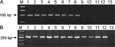 Agarose gel electrophoresis with ethidium bromide staining of RT-PCR reactions with RNA from whole blood of eight different pregnant women in their 13th until 37th week of pregnancy ( lanes 1 – 8 ) and four different non-pregnant women ( lanes 9 – 12 ). a hPL mRNA amplifications (expected product size: 97 bp). b GAPDH mRNA amplifications (expected product size: 260 bp). Lane M corresponds to a 50-base pair molecular size ladder and lane 13 corresponds to no template control reactions