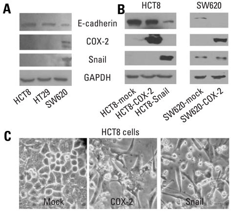 Western blot analyses of E-cadherin, COX-2 and Snail in colon cancer cells, and morphology of HCT8 transfected with cDNA for COX-2 or Snail. (A and B) Endogenous expressions of E-cadherin, COX-2, and Snail in colon cancer cells, and ectopic expressions of COX-2 and Snail in HCT8 and SW620. Forty µg of protein was separated by 10% SDS-polyacrylamide gel electrophoresis and transferred to a nitrocellulose membrane. The bottom represents <t>GAPDH,</t> which was used as a loading control. (C) Ectopic expression of COX-2 or Snail induced a scattered, flattened phenotype with few intercellular contacts in HCT8. COX-2, cyclooxygenase-2; SDS, sodium dodecyl sulfate; cDNA, complementary DNA; GAPDH, glyceraldehydes 3-phosphate dehydrogenase.