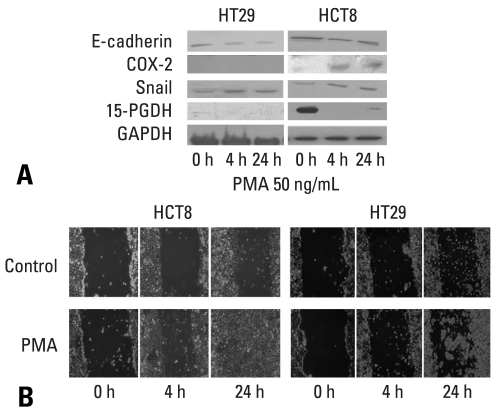 Effects of PMA on the expressions of E-cadherin, COX-2, Snail and 15-PGDH, and cell mobility in HCT8 and HT29. (A) Western blot analyses for E-cadherin, COX-2, Snail and 15-PGDH in the presence of PMA (50 ng/mL) at the indicated times. Forty µg of protein was separated by 10% SDS-polyacrylamide gel electrophoresis and transferred to a nitrocellulose membrane. The bottom represents GAPDH, which was used as a loading control. (B) Cells were incubated with serum-free medium including PMA (50 ng/mL) and allowed to migrate into the wound area for up to 24 hours at 37℃. Images were acquired immediately, and at 4 hours and 24 hours after wounding. PMA (50 ng/mL) treatment increased cell mobility in HCT8 and HT29. COX-2, cyclooxygenase-2; GAPDH, glyceraldehydes 3-phosphate dehydrogenase; PMA, phorbol 12-myristate 13-acetate; 15-PGDH, 15-hydroxyprostaglandin dehydrogenase.