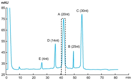 HPLC separation and purification of antisense oligonucleotide. Fractions are indicated by letter A to E as shown in Fig. 4 . Fraction A, which contains the antisense strands, was collected in the indicated interval. Sample preparation: 10 µg PEAR product double digested by PspGI and Hpy99I; Column: SOURCE Q PE 4.6/100; Flow rate: 1 ml/min; Buffer A: 10 mM NaOH, pH 12; Buffer B: 10 mM NaOH+2M NaCl, pH 12; Gradient: 20–35% B in 50 column volume.