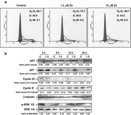 """Zn deficiency affects the distribution of events in the IMR-32 cell cycle. a Synchronized IMR-32 cells were incubated for 16 h in control non-chelated medium ( C ) or chelated media containing 1.5 or 15 μM Zn. The evaluation of cell cycle progression was done as described in """" Materials and methods """" section. The histograms show DNA staining by propidium iodide. The figure shows representative FACS profiles of the distribution of cells in G 0 –G 1 , S, and G 2 –M phases from four independent experiments. b Western blot for p53, cyclins E and D1, p-ERK, ERK, and tubulin in total cell fractions, and p21 (nuclear fractions), in synchronized cells incubated in control ( C ) or the media containing 1.5 μM Zn (1.5) for the indicated period of time. The figure shows representative images. Numbers under the figures are means from three independent experiments. Values for the 1.5 Zn group are significantly different ( P"""