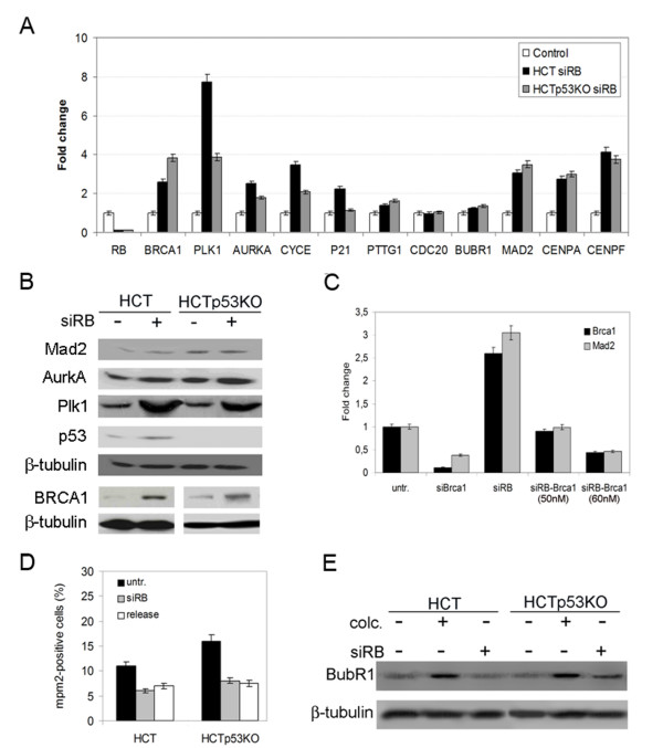 pRb acute loss induced differential expression of several centrosome and mitotic genes . A) Real-time RT-PCR showed increased expression levels of genes involved in centrosome duplication ( PLK1, AURKA, and CYCE ), as well in the SAC and mitosis ( BRCA1, PTTG1, CDC20, BUBR1, MAD2, CENPA, and CENPF ) after pRb acute loss in both HCT116wt (HCT) and p53-knockout (HCTp53KO) cells. The x-axis indicates the genes and the y-axis the relative quantification in pRb-depleted cells in respect to the gene expression level in control cells, (untransfected HCT116wt and HCT116p53KO were used as calibrator). B) Western blot showing Mad2, AurkA, Plk1, p53 and BRCA1 protein levels in HCT116 cells both wild-type (HCT, lane 1) and p53-knockout (HCTp53KO, lane 3) and after pRb acute loss (siRB+, lane 2 and lane 4 respectively). β-tubulin was used as a loading control. C) Real-time RT-PCR showing that changes in MAD2 transcript depended on BRCA1 gene expression levels. BRCA1 transcripts were reduced more than 80% at 72 hours post-transfection of siRNAs targeting BRCA1 (siBrca1 60 nM). Modulation of BRCA1 transcript levels in RB-depleted cells using different siRNA concentration (50 nM and 60 nM) reduced MAD2 expression accordingly. D) Graph showing mitotic indices in both wild type and p53-knockout HCT116 cells after pRb acute loss (siRB) and in released cells in comparison with untransfected cells (untr). E) Western blot showing similar BubR1 protein levels in untransfected cells (lanes 1 and 4) and in RB depleted cells (lanes 3 and 6). As expected HCT116 and HCTp53KO cell types after colcemid treatment (lanes 2 and 5) showed increase in BubR1 protein levels.