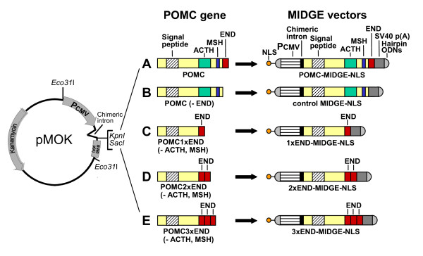 Construction of MIDGE vectors . (A) POMC exon 2-3 cDNA, encoding the signal peptide, adrenocorticotropic hormone (ACTH), melanocyte-stimulating hormone (MSH) and β-endorphin (END), was spliced into the pMOK plasmid between the SacI and KpnI restriction sites. The pMOK plasmid contains a kanamycin resistance gene, a cytomegalovirus promoter (PCMV), a chimeric intron and simian virus (SV) 40 polyadenylation (pA) site. The POMC-MIDGE-NLS was derived from the pMOK-POMC plasmid by cutting it with <t>Eco31I,</t> ligation with hairpin ODNs at both ends, and coupling of nuclear localization sequence (NLS) to one of the hairpin ODN. The other vectors were prepared analogously by modifying POMC gene as follows: (B) END sequence was removed to obtain control MIDGE-NLS; (C) ACTH and MSH fragments were removed while END sequence was preserved in its original place to obtain 1xEND-MIDGE-NLS encoding 1 copy of END; (D) ACTH fragment was removed, original END sequence was preserved and MSH fragment was replaced with an additional sequence of END to obtain 2xEND-MIDGE-NLS encoding 2 copies of END; (E) original END sequence was preserved and the ACTH and MSH fragments were replaced with additional END sequences to obtain 3xEND-MIDGE-NLS encoding 3 copies of END.