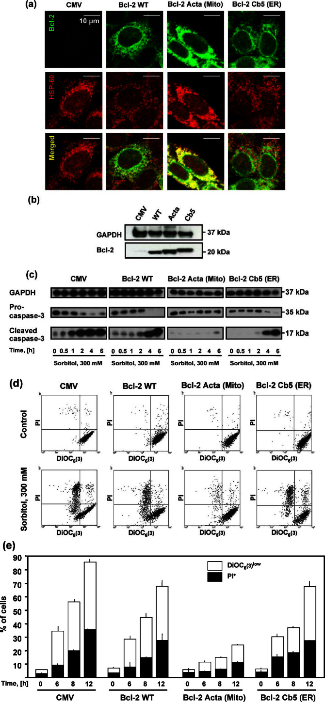 Bcl-2 targeted to mitochondria protects Rat-1 fibroblasts from hyperosmotic stress-induced apoptosis . (a–e) Rat-1 fibroblasts were transfected with an empty control vector (CMV) or with a plasmid expressing Bcl-2 in its wild-type configuration (WT) or fused to peptides targeting it to mitochondria (Acta) or to endoplasmic reticulum (Cb5). (a) Rat-1 cells transfected with the abovementioned constructs were submitted to immunofluorescence staining with antibodies specific for Bcl-2 and the 60 kDa heat-shock protein (HSP-60, which colocalizes with mitochondria), to ensure the correct localization of the Bcl-2 fusion proteins. (b) Proteinswere extracted from Rat-1 fibroblasts transfected with the abovementioned plasmids, separated according to molecular weight on mono-dimensional SDS-PAGE, then analyzed by immunoblotting with antibodies specific for Bcl-2 and GAPDH (loading control). (c–e) Transfected Rat-1 fibroblasts were treated with 300 mM sorbitol for the indicated time then subjected to protein extraction for subsequent immunoblot (c) or to cytofluorometric analysis of mitochondrial membrane potential (DiOC 6 (3) staining) and viability (PI staining) (d–e). (c) After the treatment with 300 mM sorbitol for the indicated time, proteins were extracted, run on mono-dimensional SDS-PAGE, then analyzed by immunoblotting with antibodies specific for total caspase-3 and GAPDH (loading control). Caspase-3 activation corresponds to the progressive accumulation of the 17 kDa active caspase-3 fragment in parallel with a decrease of the pro-caspase-3 band (approx. 35 kDa). Only when Bcl-2 is targeted to mitochondria, sorbitol-induced caspase-3 activation is efficiently prevented. (d) Representative dot plots obtained after 6 h of treatment with 0 (control) or 300 mM sorbitol. X-axis, DiOC 6 (3) staining; Y-axis, PI staining. (e) Kinetic response of Rat-1 fibroblasts to sorbitol treatment. White columns depict the percentage of cells which have dissipated the mitochondrial mem