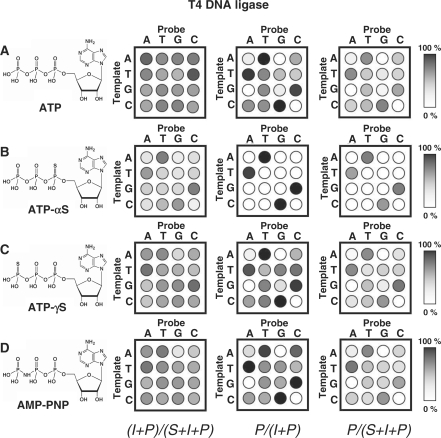 An array of substrates was profiled with the T4 DNA ligase and each of four ATP analogs. Experiments were performed and analyzed as described in Figure 3 . Separate experiments were performed using ( A ) ATP, ( B ) ATP-αS, ( C ) ATP-γS and ( D ) AMP-PNP as the cofactor.