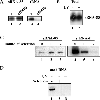 Affinity selection of sRNA-85 in untreated and AMT UV crossed-linked cells. ( A ) Total RNA was prepared from L. collosoma cells (5 × 10 9 ) and subjected to affinity selection using 2′- O -methyl biotinylated oligonucleotide of sRNA-85 as described in 'Materials and Methods' section. The affinity-selected product ('affinity') and 10% of the total RNA (T) was subjected to primer extension with radiolabeled oligonucleotides complementary to sRNA-85 (lanes 1 and 2) or tRNA Arg (lanes 3 and 4) and separated on a 6% denaturating gel. ( B ) Cells were treated with 0.2 mg ml− 1 AMT, and irradiated at 365 nm with UV light (10 milliWatts cm −2 ) for 60 min. RNA from the same number of irradiated (+; lane 2) or untreated (−; lane 1) cells was subjected to primer extension and separated on a 6% denaturing gel. ( C ) Total RNA from irradiated cells was subjected to either one round (lanes 2 and 5) or two rounds (lanes 3 and 6) of affinity selection and primer extension was preformed with oligonucleotides specific to sRNA-85 and srRNA-2, and compared with 10% of the total RNA used for selection (lanes 1 and 4). ( D ) RNA was prepared from irradiated cells and from control untreated cells as described above. The RNA (from 10 10 cells) was subjected to affinity selection as described in 'Materials and Methods' section. The affinity-selected products (lanes 2 and 3) and 2 µg total RNA (lane 1) were subjected to reverse transcription using random primers. The cDNA was amplified by PCR using primers for snoRNA-2. The PCR products were separated on 1.5% agarose gel and detected by ethidium bromide staining.