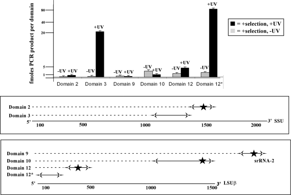 Quantitative real-time PCR analysis of the 'RNA Walk' method. Real-time PCR was performed as described in 'Materials and Methods' section using cDNA (diluted 1:100 000). Concentration curves were prepared for each domain studied. The curves were used to determine the amount of PCR product amplified from each domain. PCR was performed on DNA prepared from RNA extracted from non-irradiated cells (−UV, gray bars) and from irradiated cells (+UV, black bars). The different rRNA domains examined are indicated and depicted schematically underneath the graph.
