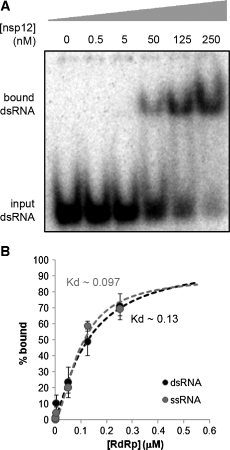 RNA binding affinity of nsp12. ( A ) A fixed concentration (0.2 nM) of radiolabeled dsRNA or ssRNA (data not shown) was titrated with purified nsp12 and the complexes formed were separated from unbound RNA on a native 8% polyacrylamide gel. ( B ) Free and bound RNA were quantified and fit to the Hill equation (see 'Materials and Methods' section), resulting in K d values of 0.13 ± 0.3 μM for dsRNA and 0.10 ± 0.2 μM for ssRNA binding. R 2 values of these Hill fits were 0.97 and 0.98 for dsRNA and ssRNA, respectively. Error bars represent standard error of the mean ( n = 3).