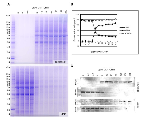 Optimization of digitonin concentration for the extraction of cytosolic proteins . (A) HEK293 cells were plated at a density of 4 × 10 5 cells per well of a 12 well plate and were harvested 48 hours later. Cells were then lysed in 400 μl of buffer containing digitonin at the concentration indicated. Following centrifugation and collection of the supernatant the remaining cell pellet was further extracted in NP40 lysis buffer. An aliquot of each extract was then analysed by 4-12% SDS PAGE (Invitrogen #NP0322) followed by staining with Coomassie blue. (B) The concentration of protein in each extract was determined by colorimetric protein assay (Pierce #23232) and the results were plotted to demonstrate that total protein extracted was the same regardless of the starting concentration of digitonin. (C) Extracted proteins from each fraction were analyzed by Western blot using an anti GAPDH antibody (NOVUS Biologicals #300-221B) as a marker of the cytosol and an anti BiP antibody (SIGMA # G918) as a marker of the endoplasmic reticulum.