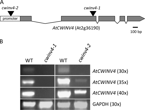 Identification of cwinv4 mutants. Two independent Arabidopsis <t>T-DNA</t> mutant lines ( Alonso et al. , 2003 ), cwinv4-1 (SALK_130163) and cwinv4-2 (SALK_017466C), were obtained from the Arabidopsis Biological Resource Centre and genotyped to obtain homozygous mutant plants. The relative locations of each T-DNA insertion are shown in (A). RT-PCR, performed on RNA isolated from whole flowers, demonstrated that cwinv4-1 is a null mutant, and that <t>AtCWINV4</t> is expressed significantly lower in cwinv4-2 flowers than in wild-type (B).