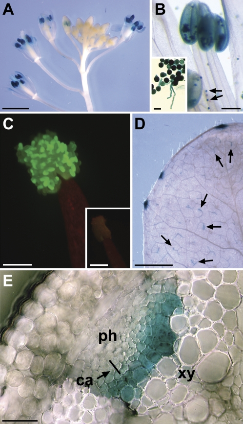 Reporter gene analyses of p AtPMT2 / GFP and p AtPMT2 / GUS plants. (A) Inflorescence of a p AtPMT2 / GUS plant with strong GUS staining in the mature anthers. (B) Higher magnification of an anther with very strong GUS staining in fully developed pollen grains (arrows) and in germinated and ungerminated pollen on agar medium (insert). Staining of cells in the anther surface results from the diffusion of excess stain out of the pollen grains and can even reach the sepals and petals of stained flowers (see A). (C) GFP-fluorescence (epifluorescence) in pollen grains on an opened anther from a p AtPMT2 / GFP plants. No fluorescence is seen in WT anthers (insert). (D) Strong GUS staining in source leaf hydathodes and very weak GUS staining in minor veins (arrows). (E) Cross-section of a flower stalk with GUS staining in young xylem cells (ca, cambium; ph, phloem; xy, xylem). A bar indicates the region where the single-celled row of cambial cells is located. The cambial cells themselves cannot be identified. Bars are 2 mm (A, D), 200 μm (B, insert of C), 20 μm (insert of B), 100 μm (C), 25 μm (E).